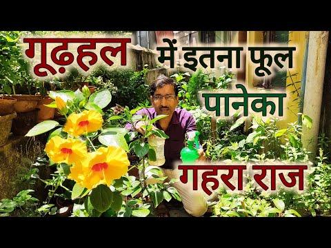 गूढ़हल में बहोत ज्यादा फूल पाने का गहरा राज, आपको कभी कोई नही बतायेगा / Heavy Flowering in Hibiscus
