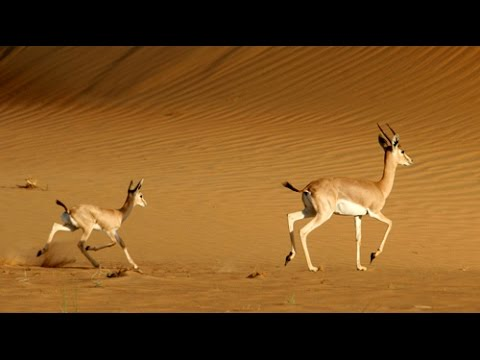 DJI Phantom 4 Following a Family of Gazelles in Desert - UCsFctXdFnbeoKpLefdEloEQ
