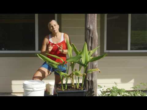 Container Gardening To Grow Turmeric:  Homesteading Basics