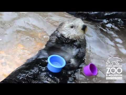 Zdolna wydra segreguje naczynia