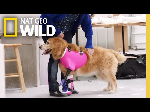 A Dog Tries on a Prosthetic | Wizard of Paws
