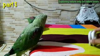 Alexander parrots playing with Hairband | part 1