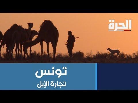 #تونس.. تربية الإبل تتراجع بسبب الوضع الأمني على الحدود الليبية التونسية