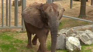 Elephant at Maryland Zoo settles in new home   ABC News