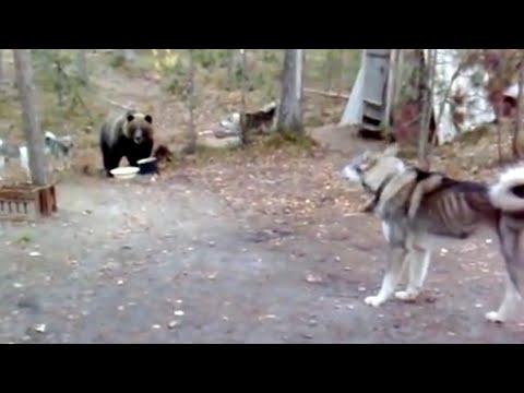 Любопытный медведь пришёл в лагерь лесников, но собаки его прогнали