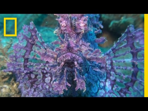 This Vibrant Fish Looks Crazy, But It's Pretty Lazy   National Geographic