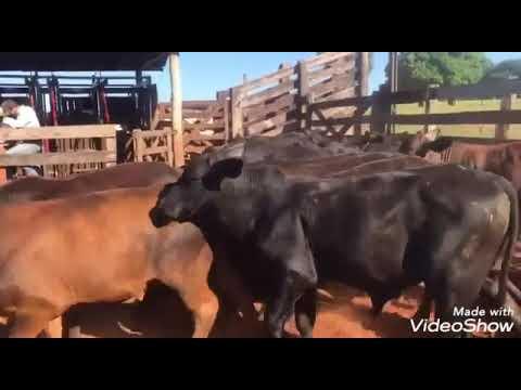 Progênie touro DUBLINER - Aberdeen Angus