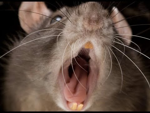 Prophecy Alert: Thousands Of Dead Rats In New Zealand Last Days Plagues
