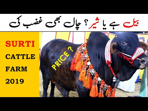 Surti Cattle Farm 2019 - Sohrab Goth Cow Mandi Karachi