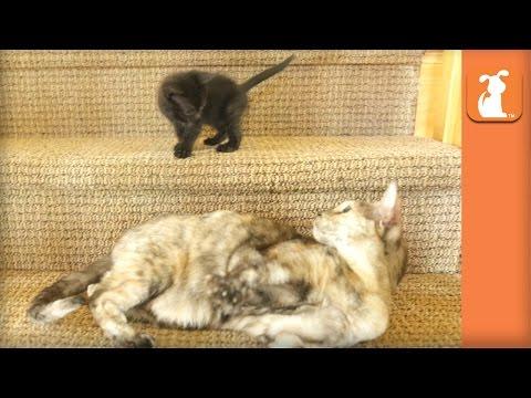 Tiny Kitten Conquers The Stairs - Kitten Love - UCPIvT-zcQl2H0vabdXJGcpg
