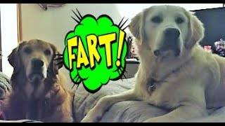Funny Golden Retriever Puppy Dogs Reaction To Farts!
