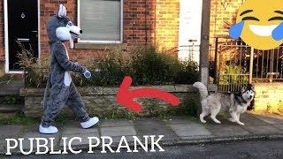 Walking My Huskies Dressed Like A Husky! [PUBLIC PRANK] [FUNNIEST VIDEO EVERRRR!!!]