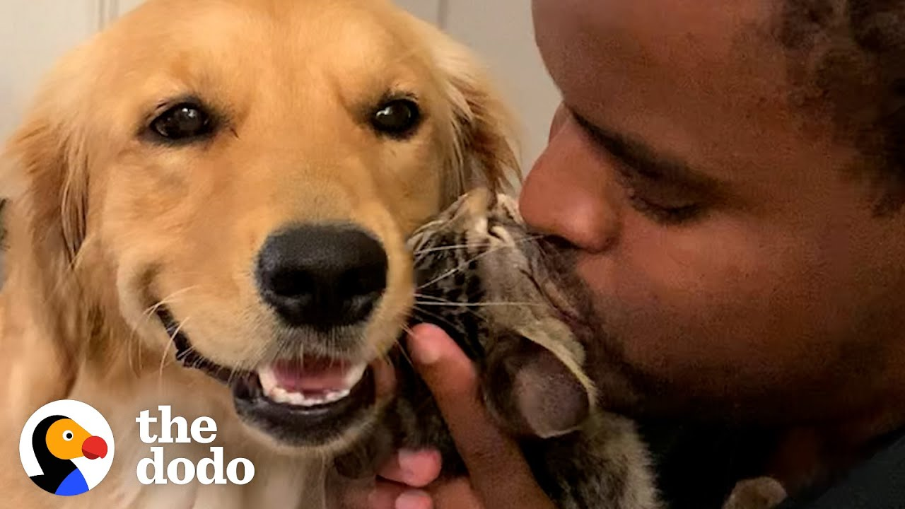 Golden Retriever And Kitten Compete For Kisses From Dad | The Dodo Odd Couples
