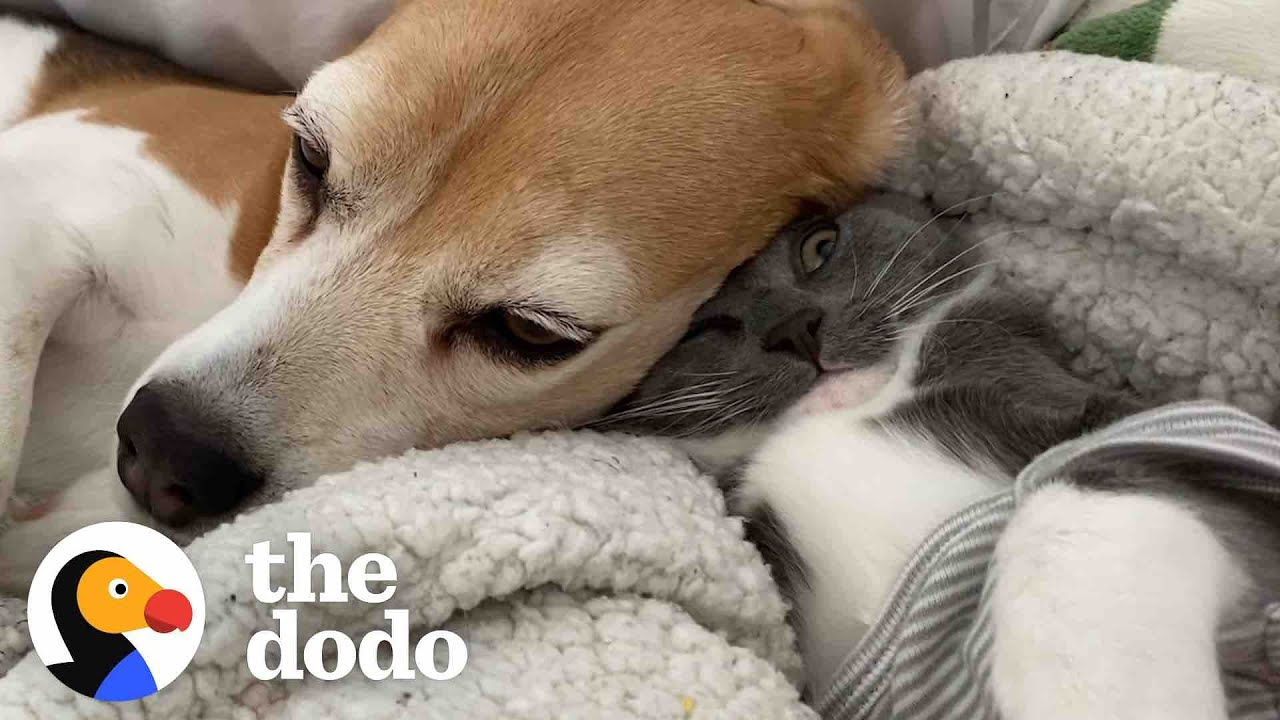 Beagle And His New Adorable Best Friend | The Dodo