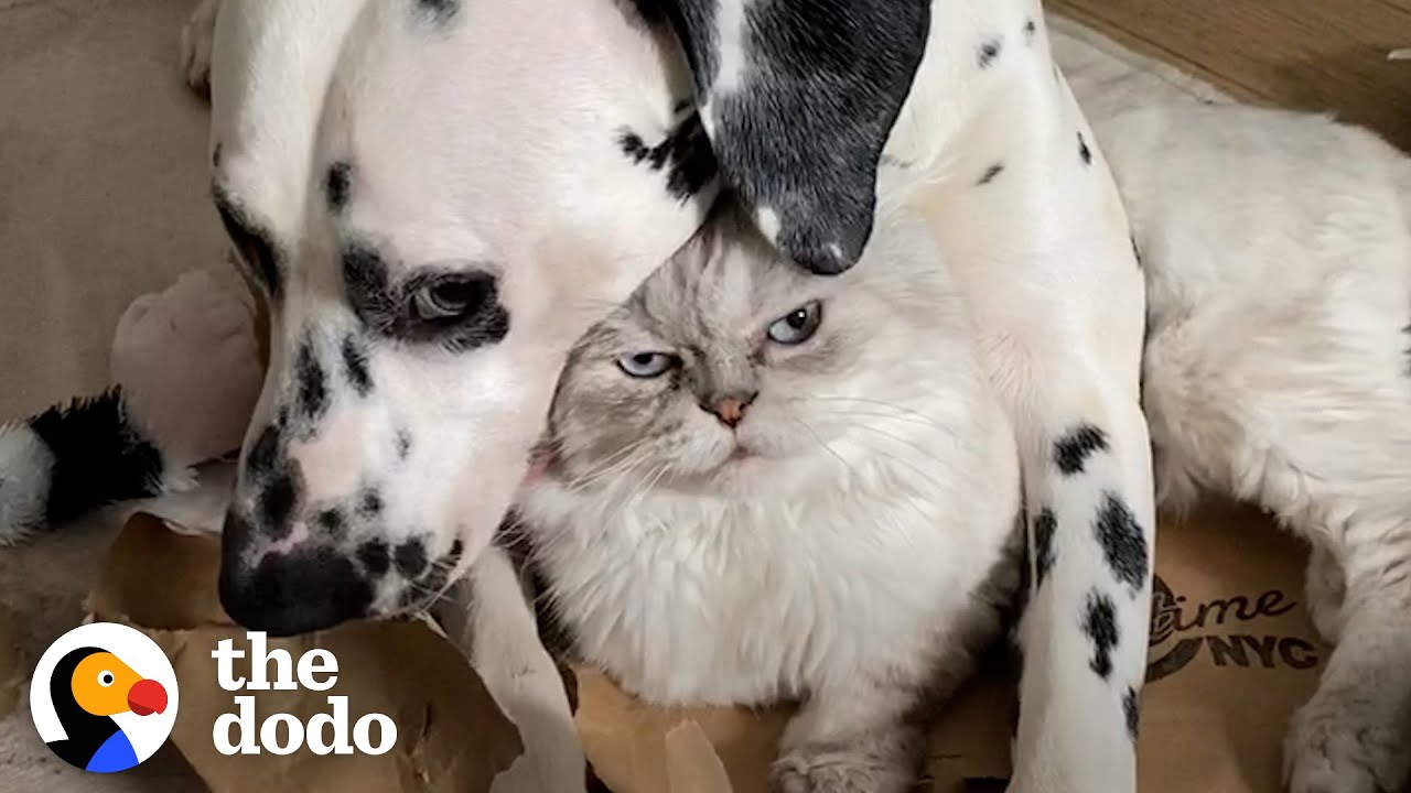 Dog Uses A Cat As A Pillow?! | The Dodo Odd Couples