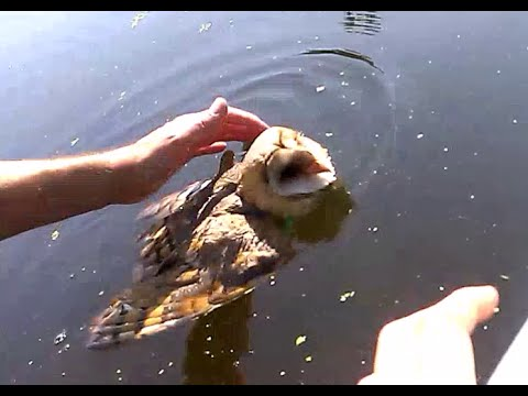 Barn owl rescued from drowning. - UCE9iBSWjVr3fnzPJ8ySpfZA