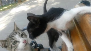 Two tabby and tuxedo kittens are treat me very friendly - Little cats