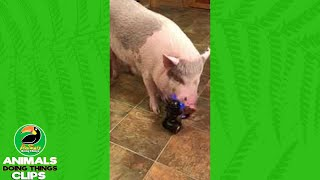 Cute Pig Gets Tummy Rubs | Animals Doing Things Clips