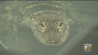 Alligator Found In South Side Now Named Frankie
