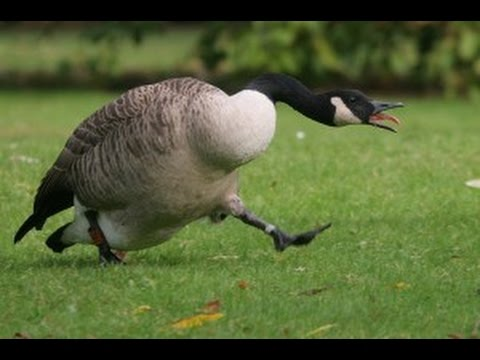 Goose chasing people - funny geese attack compilation - UC7QURED0g4ip8fgeTpM6eHg