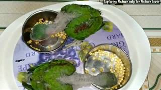 If parrots fight for foods | how to give food to parrots